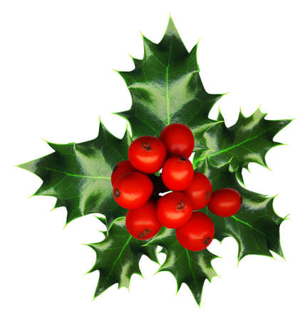 sprig:   a sprig of holly isolated on a white background