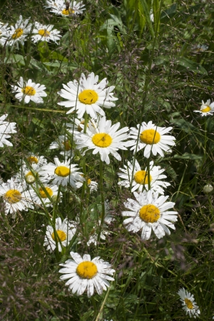 Many in the field of daisies photo