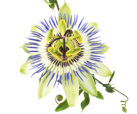 passionflower: passiflora on the white, isolated