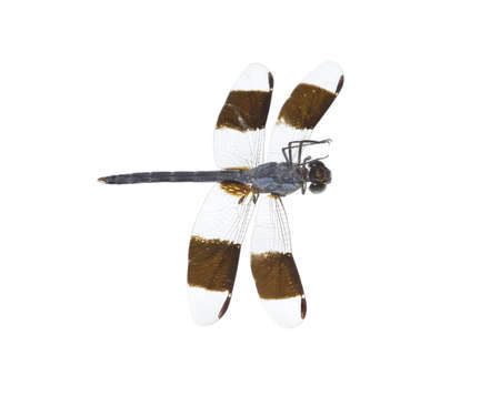 parasites: the dragonfly with parasites perishes, the overturned
