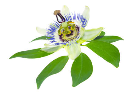passionflower: passionflower on a leaf
