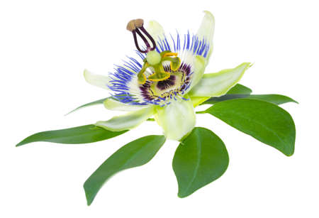 passionflower: passionflower flower on a leaf