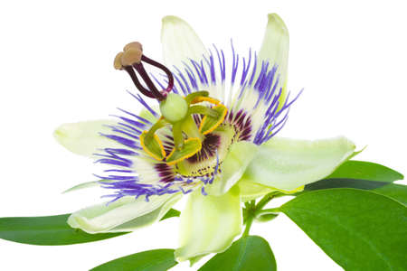 passionflower: passionflower flower on a leaf, on the white Stock Photo
