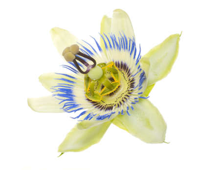 passionflower: passionflower flower on the white Stock Photo