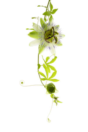 passionflower on the white, isolated photo