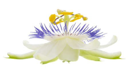 passionflower: passionflower on the white, isolated Stock Photo