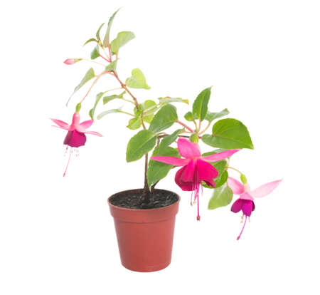 fuchsia flower houseplants in flower pot, isolated on white background photo