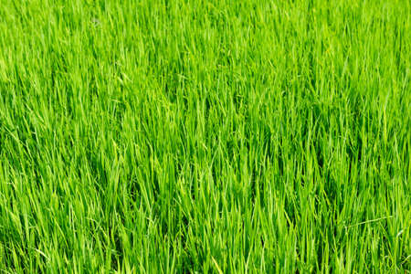 fresh spring green grass, young greens of rice photo