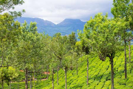 Landscape of the tea plantations Kerala photo