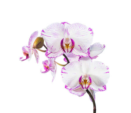 striped orchid isolated on the white,  background photo