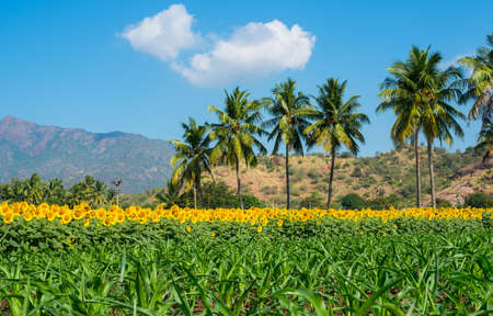 Beautiful landscape with a field of sunflower and young shots of corn on the cloudy blue sky with palm trees and mountains photo