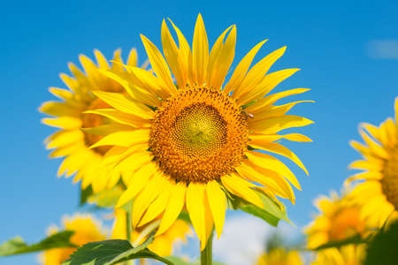 Sunflower in the blue sky, background photo