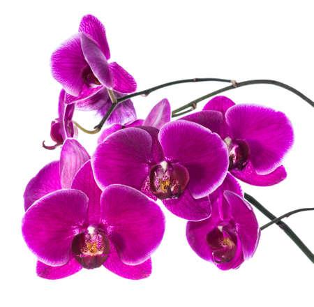 orchidee: Fioritura di orchidea viola isolate, sfondo Archivio Fotografico
