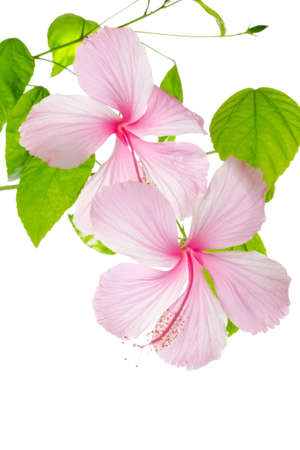branch pink hibiscus flower isolated on white background photo