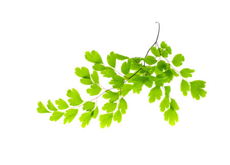 Maidenhair leaves, white background photo