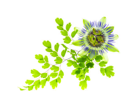 Maidenhair leaves with passionflower, white background photo