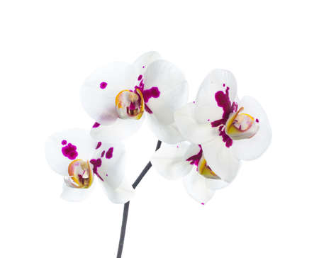 orchid white with lilac spots isolated on the white, background photo