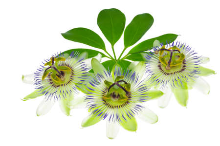 passionflower: three passionflower flower on a leaf, on the white