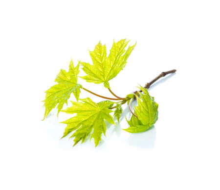 the green leafs of a maple on white, isolated photo