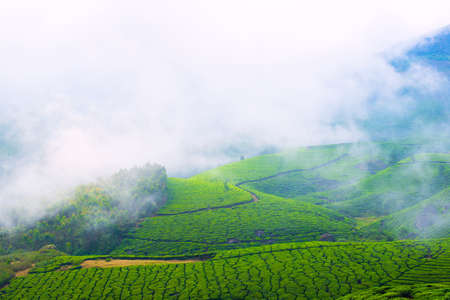 Landscape of the tea plantations with fog in India, Kerala Munnar photo