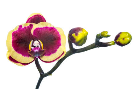 Blooming purple with yellow orchid isolated, background photo