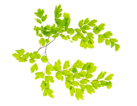two crossed branches of a maidenhair photo