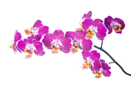 spotty: spotty orchid isolated on the white,  background Stock Photo
