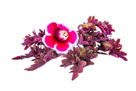 gloxinia flowers on a red painted nettle, isolated photo