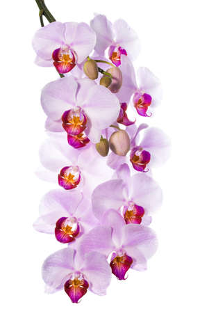 gentle the pink orchid is isolated on a white background photo