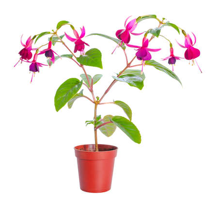 fuchsia color: fuchsia flower houseplants in flower pot, isolated on white background Stock Photo