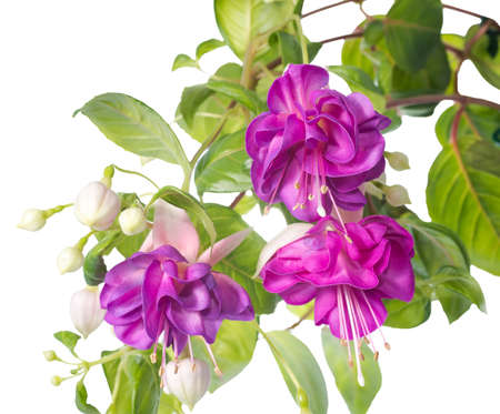lilac fuchsia flower isolated on white background photo