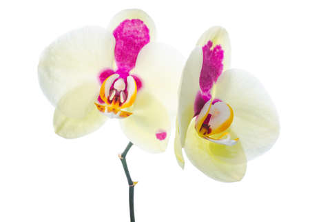 Yellow orchid with purple spots, isolated on a white background photo