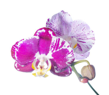 Blooming colourful orchid isolated, a white background photo