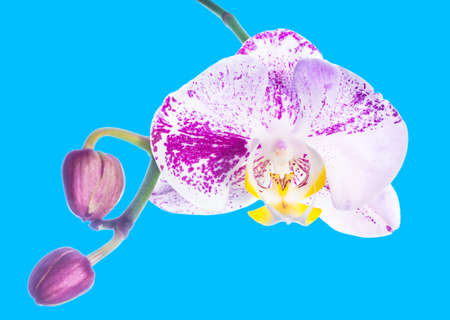 fuchsias:  lilac orchid isolated with bud, on a blue background Stock Photo