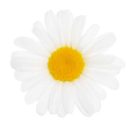 flower petal: the flower of a camomile is isolated on white