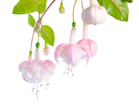 wit en roze fuchsia bloem tak geïsoleerd op een witte achtergrond, Margarita