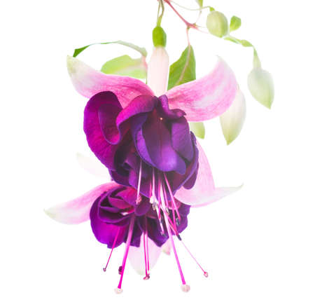 fuchsia isolated on white  background, Tamara Balyasnikova photo