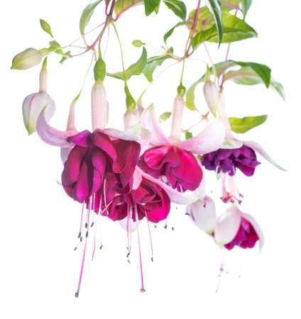 violet and pink fuchsia flower isolated on white background, Tamara Balyasnikova photo