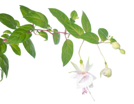 white  fuchsia branch isolated on white, Frank Unsworth photo