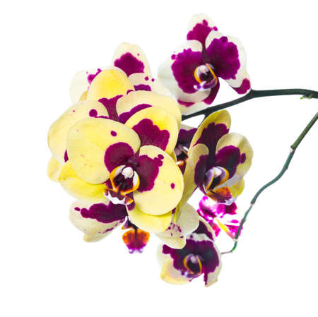 fuchsias: Blooming unusual orchid isolated on the white  background