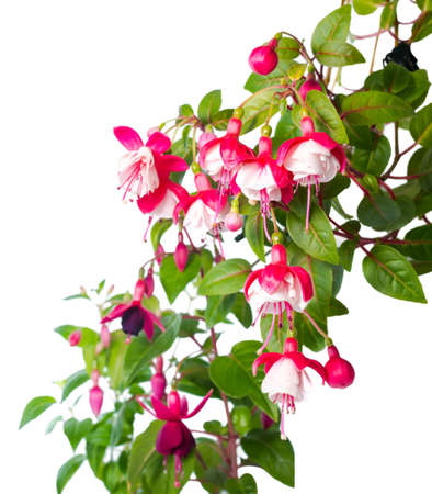 blossoming red and white of a fuchsia is isolated, Alwin photo