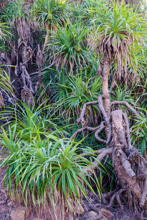 tree a pandanus in the natural environment photo