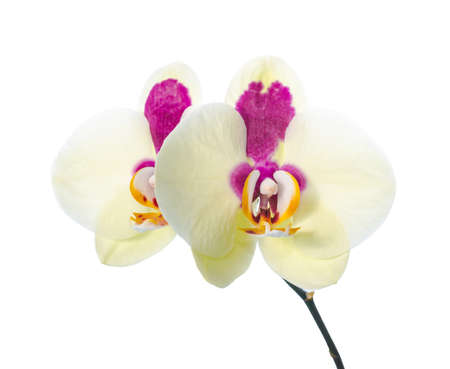 Big yellow orchid with purple spots, isolated on a white background photo