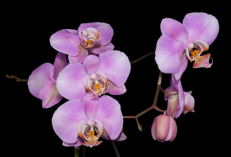 the gentle lilac branch of an orchid is isolated on a black background photo