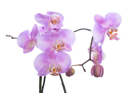 the gentle lilac branch of an orchid is isolated on a white background photo