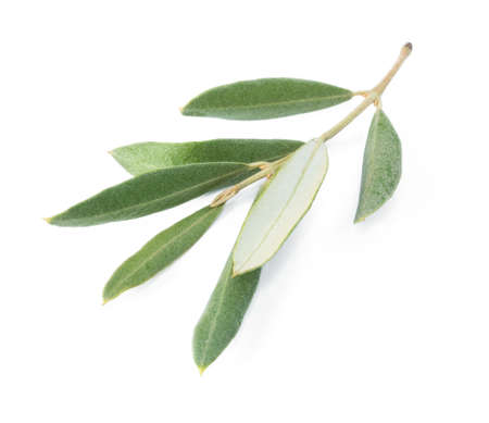 branch of an olive tree, isolated
