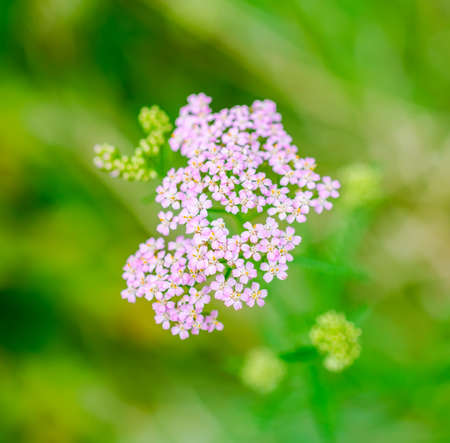 milfoil: Milfoil herbal medicine, Yarrow (Achillea millefolium L.), green blurred background