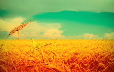Ripe wheat at the field in grunge and a retro style photo
