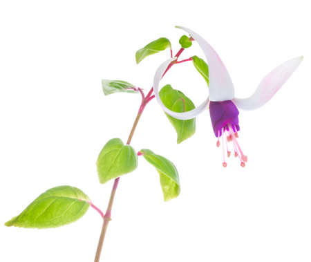 fuchsias: the branch lilac with white fuchsias is isolated on the white