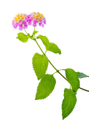 lantana: flower Lantana camara, closeup Stock Photo